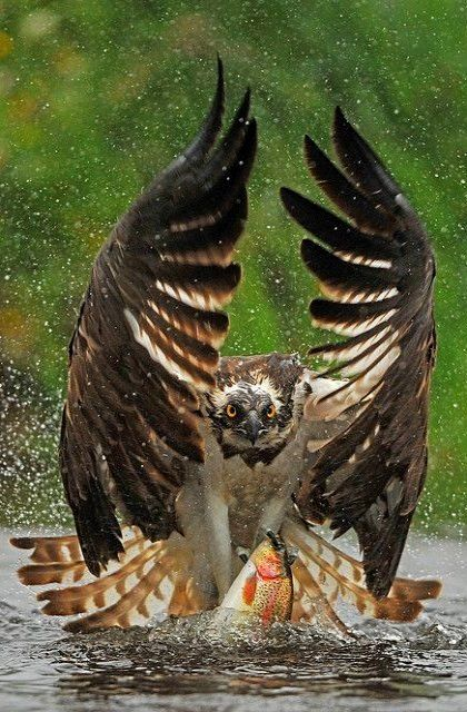 Hawk_Fishing