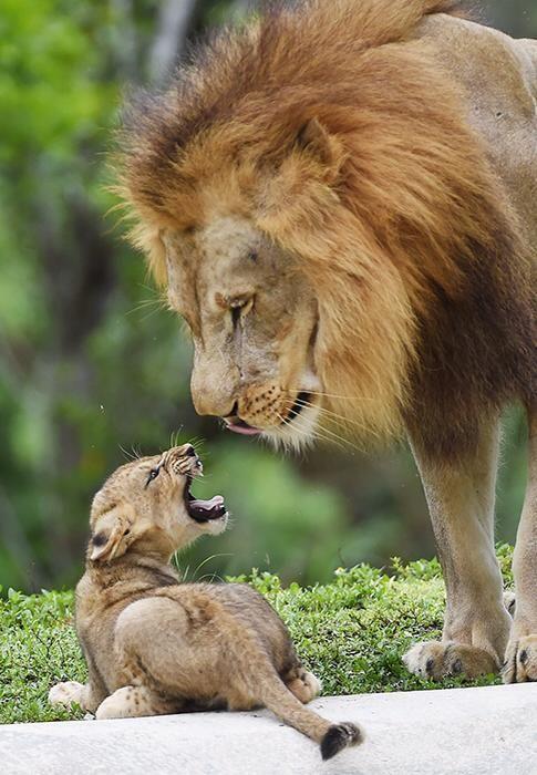lionandcub